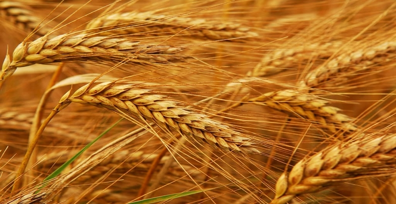 Russian wheat offered lowest in Ethiopia's 400,000 ton wheat tender